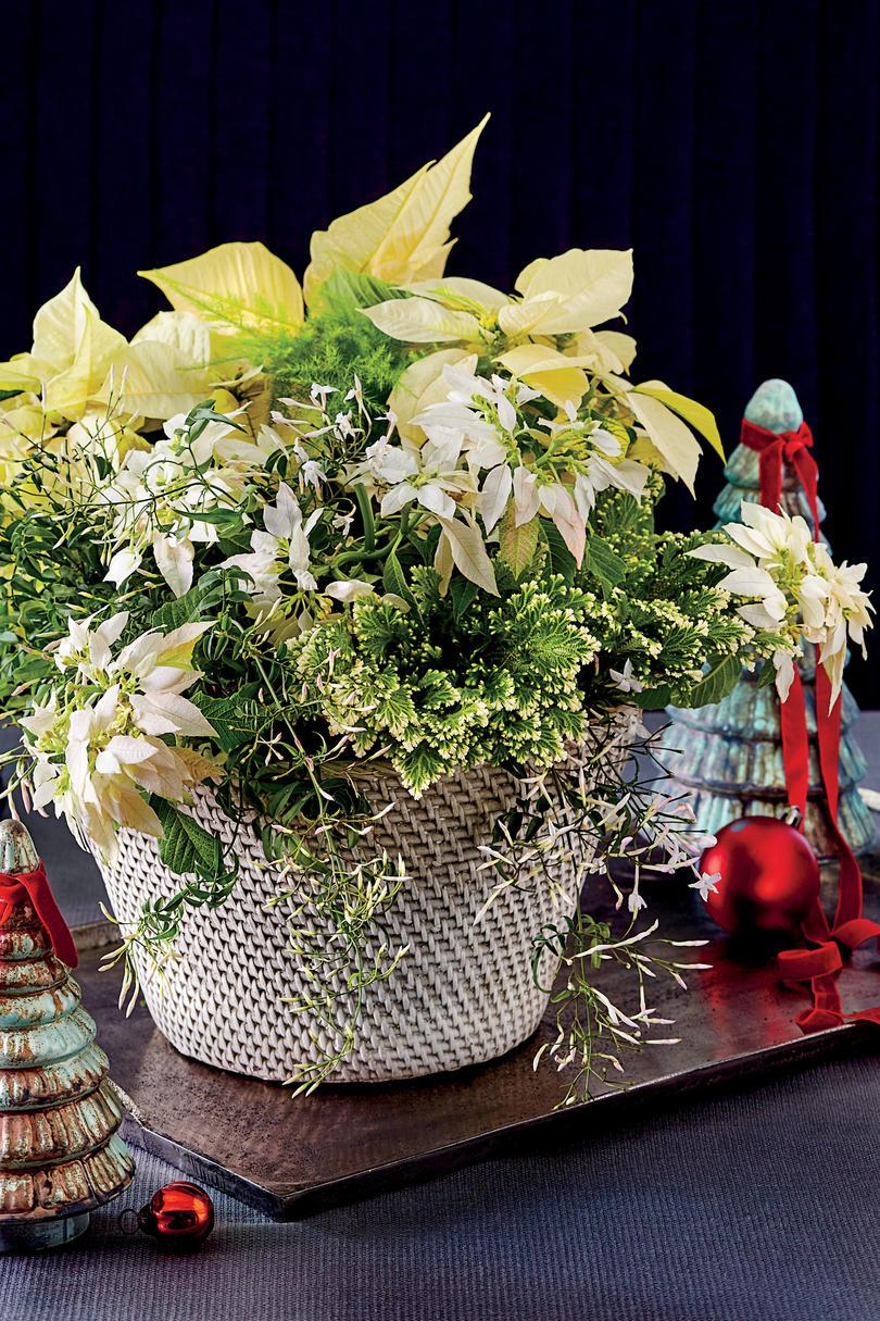 hvid Poinsettia Potted Arrangement