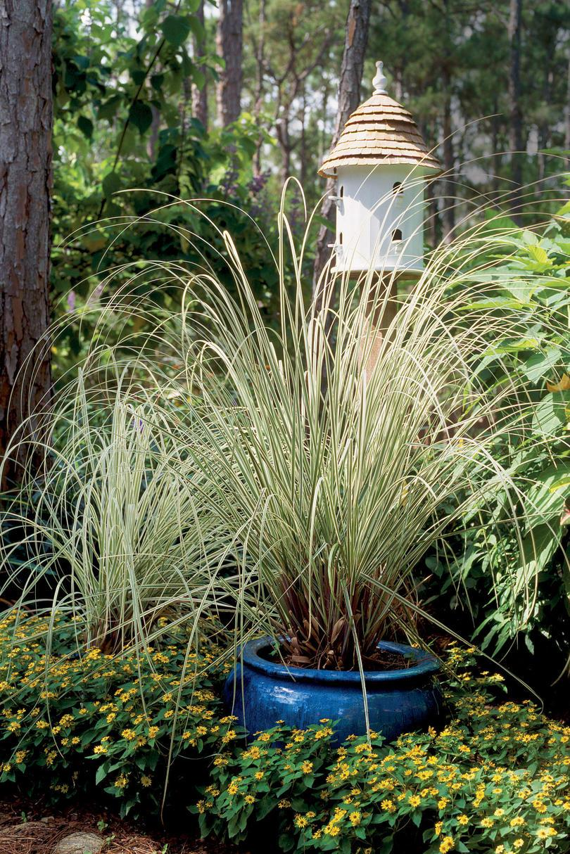 brogede Silver Grass