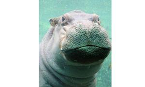 Фиона хипопотама беше най-силният отговор на южния й съдията
