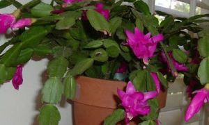 The Perfect Holiday Plant – julekaktus