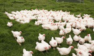 25 nombres de pollo del sur