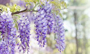 Duftende sydlige blomster til din have