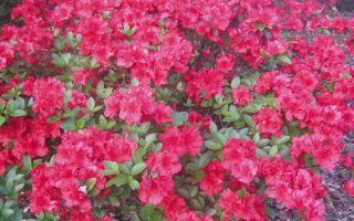 Cómo cultivar azaleas