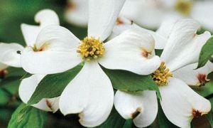 Cornejo floreciente <em> Planta esencial del sur </em>