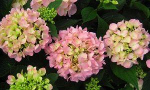 Hvorfor din franske hortensia aldrig blomstrer
