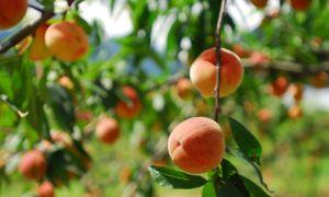 Peach stromy jsou vysokou údržbou jižních krás
