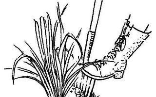 دليل div iding Daylilies