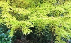 Arce de corteza de coral – Un árbol para todas las estaciones