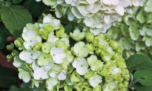 El arbusto de flores más elegante de la primavera