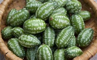 Hvorfor sydstædere skal dyrke cucameloner i år