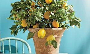 レモンツリーを育てる