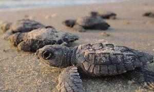 Nejlepší místa, kde můžete vidět hnízda mořské želvy