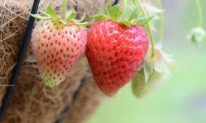 الفواكه والخضروات يمكنك أن تنمو في سلة معلقة