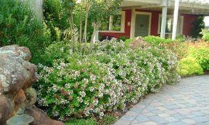 5 arbustos agradables para las floraciones de verano