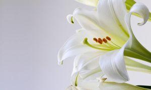 Vše, co potřebujete vědět o velikonoční lilie